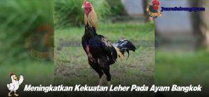 Meningkatkan Kekuatan Leher Pada Ayam Bangkok