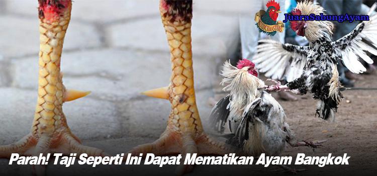 Parah! Taji Seperti Ini Dapat Mematikan Ayam Bangkok