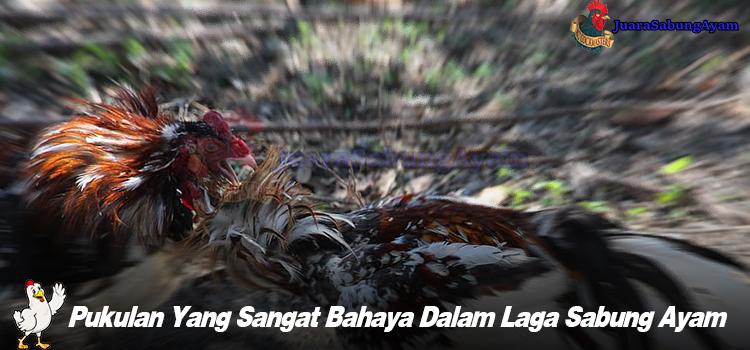 Pukulan Yang Sangat Bahaya Dalam Laga Sabung Ayam