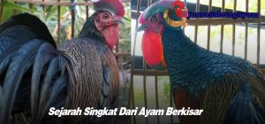 Sejarah Singkat Dari Ayam Berkisar