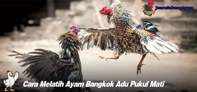 Cara Melatih Ayam Bangkok Adu Pukul Mati