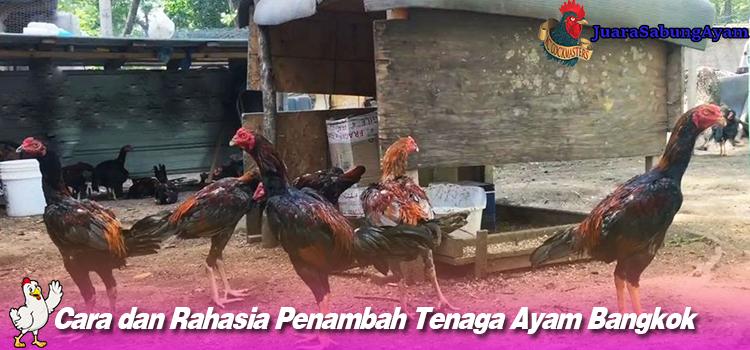 Cara dan Rahasia Penambah Tenaga Ayam Bangkok