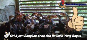 Ciri Ayam Bangkok Anak dan Dewasa Yang Bagus