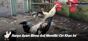 Hanya Ayam Birma Asli Memiliki Ciri Khas Ini