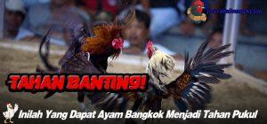 Inilah Yang Dapat Ayam Bangkok Menjadi Tahan Pukul