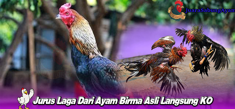 Jurus Laga Dari Ayam Birma Asli Langsung KO