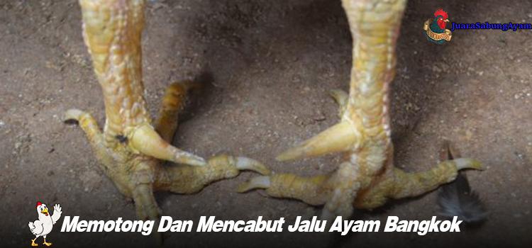 Memotong Dan Mencabut Jalu Ayam Bangkok