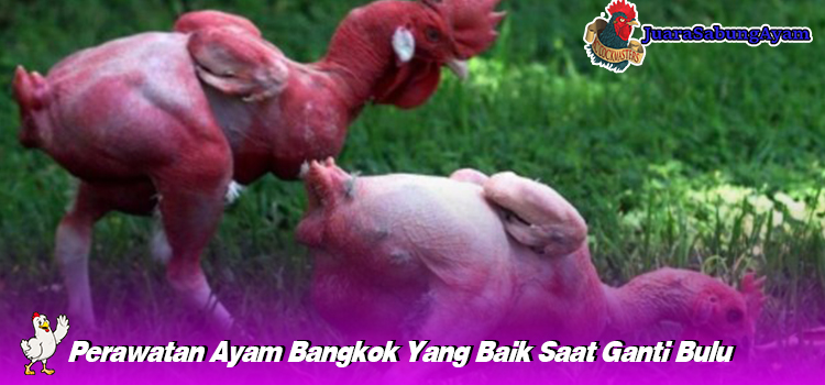 Perawatan Ayam Bangkok Yang Baik Saat Ganti Bulu