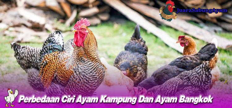 Perbedaan Ciri Ayam Kampung Dan Ayam Bangkok