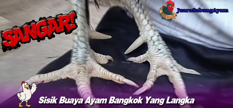 Sisik Buaya Ayam Bangkok Yang Langka