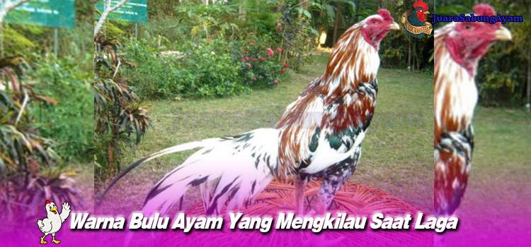 Warna Bulu Ayam Yang Mengkilau Saat Laga